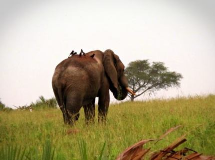an elephant grazing in Murchison Park, adjacent to Te Okot